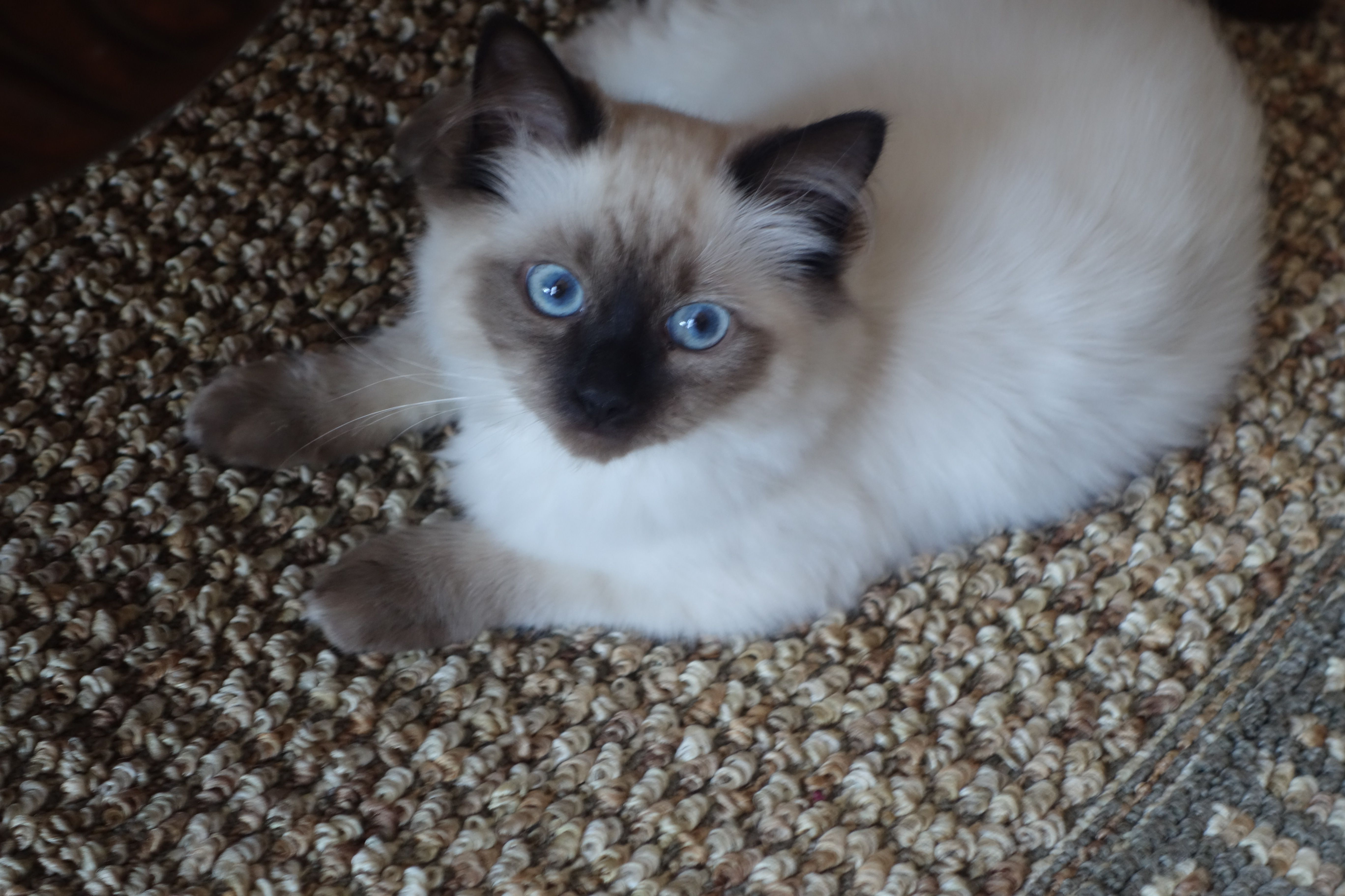 Layla And Gizmo Ragdoll Kittens Of The Month Ragdoll Kitten Ragdoll Kittens