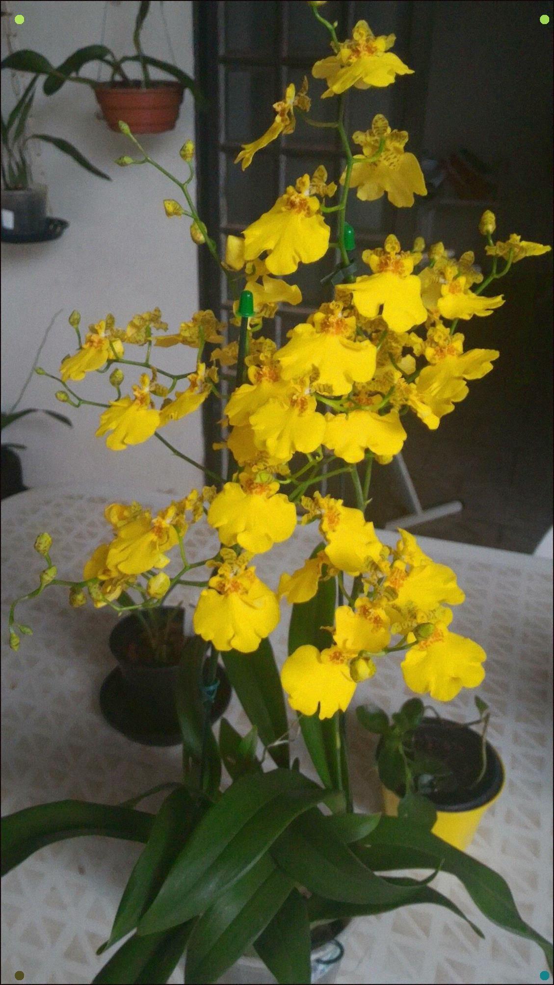 Oncidium Beautiful Orchids Orchidaceae Oncidium