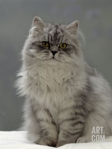 Domestic Cat Silver Tabby Chinchilla Cross Persian In Full Coat