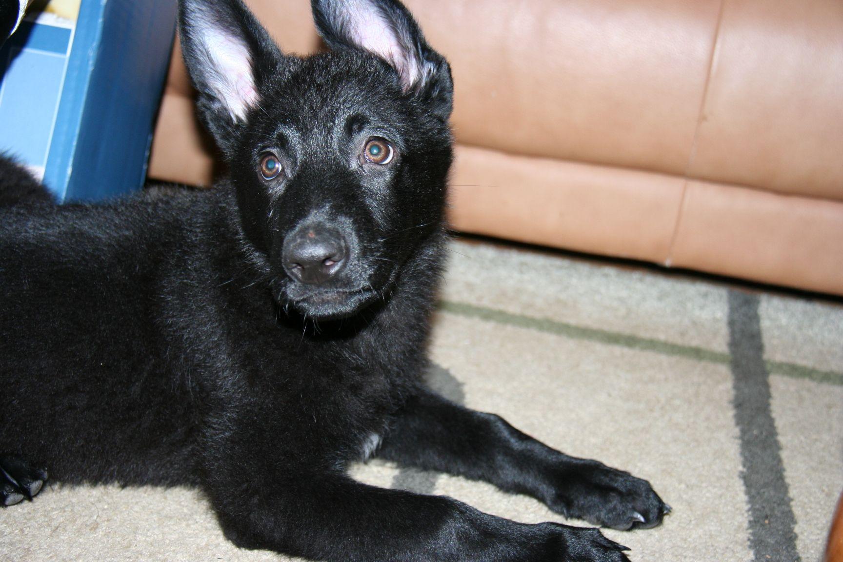 Buy German shepherd puppies for sale | England UK