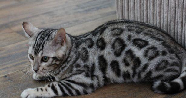 Queenanne Cats Toyger Queens Cat Breeder in Bromsgrove
