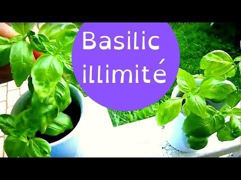 Comment Faire Pousser Du Basilic Illimite En Balcon A L