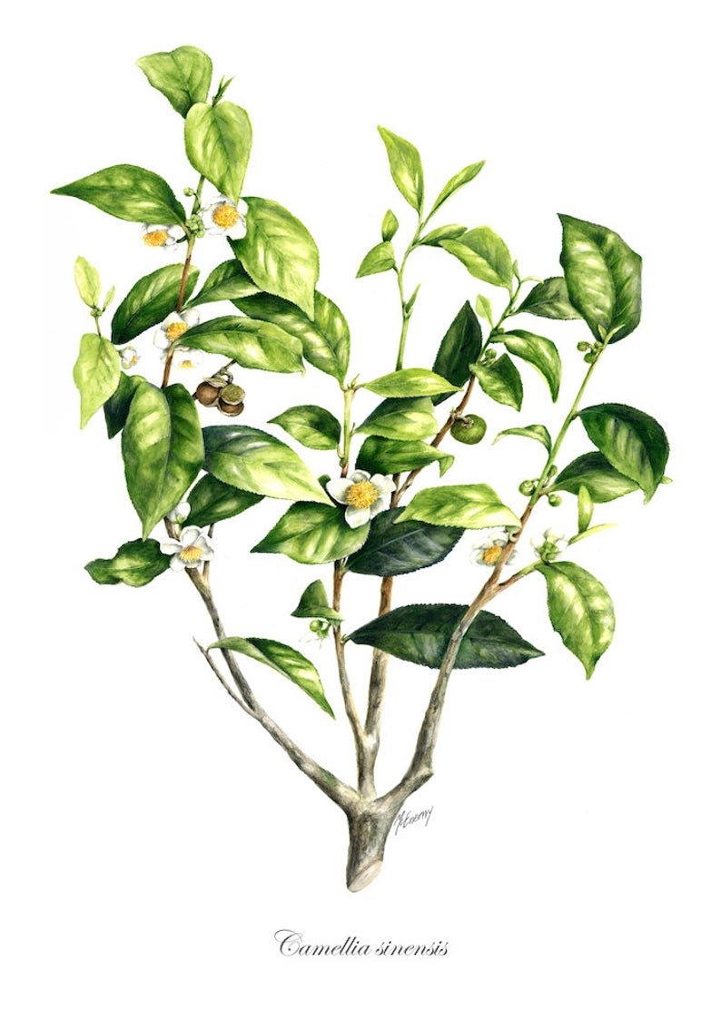 Botanical Print Of Camellia Sinensis The Tea Plant From Original By Julie Mcenerny A4 Size Botanical Camellia Julie In 2020 Tea Plant Botanical Prints Botanical