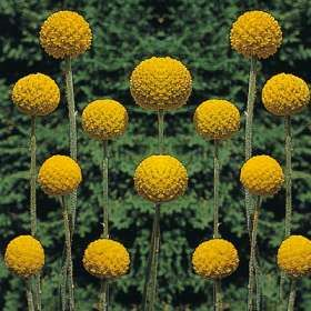 Craspedia Small Completely Round Flower Head Made Up Of Lots Of Tiny Yellow Flowers Aka Billy Balls Craspedia Flowers Flowers Perennials