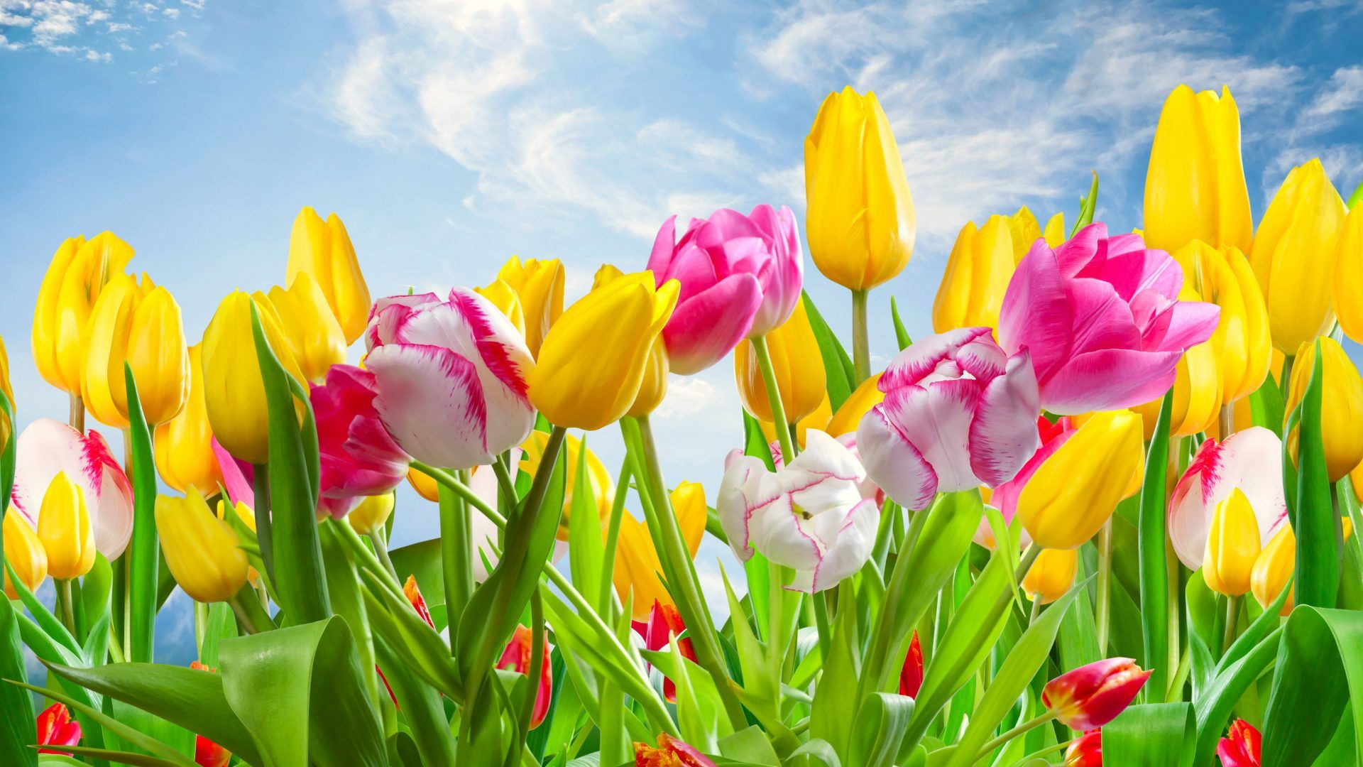 Flowers Tulips Sunshine Yellow Colors Spring Nature Pink Wallpaper Ios 8 Flower Flower Desktop Wallpaper Tulip Seeds Flowers Nature