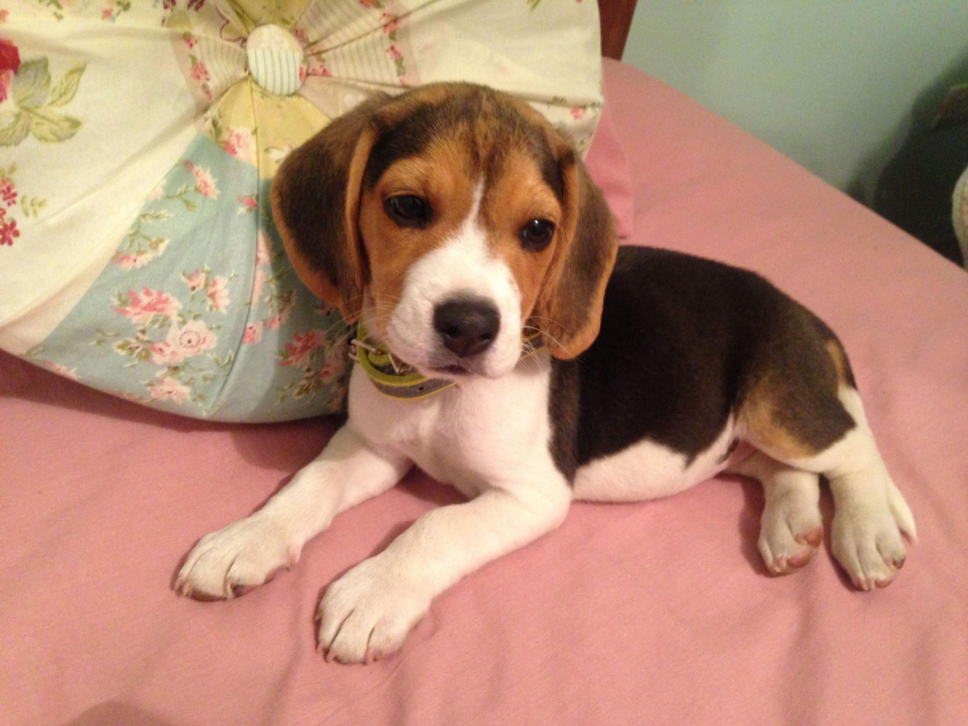 All The Things We All Admire About The Happy Beagle Dogs