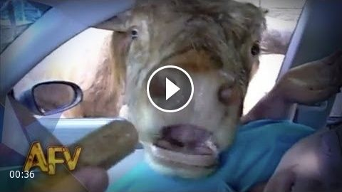Laughing Cow Drive-Thru | Animals | AFV