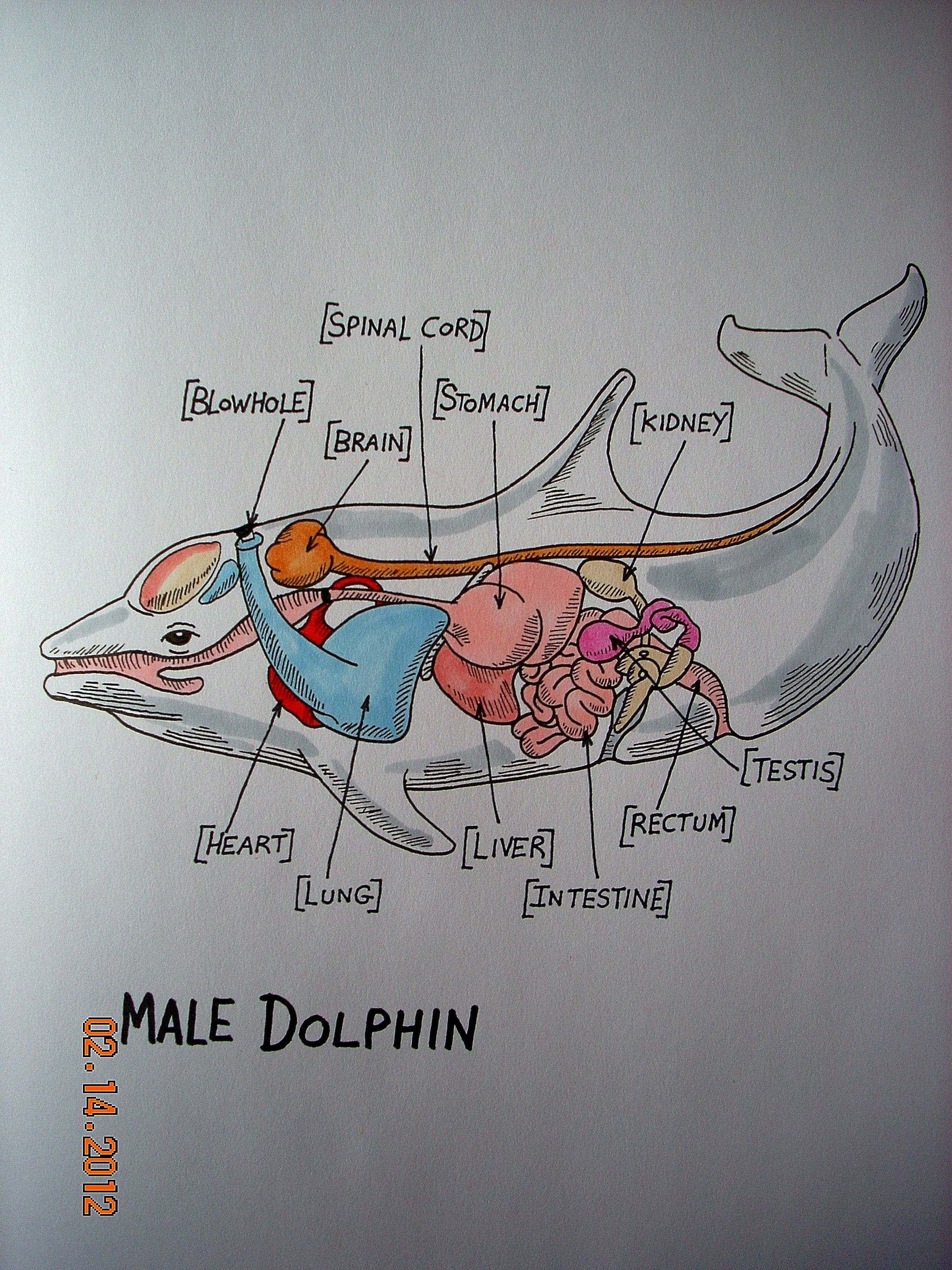 Dolphin Anatomy By: Stephanie Bissonnette | Scientific and Anatomic ...