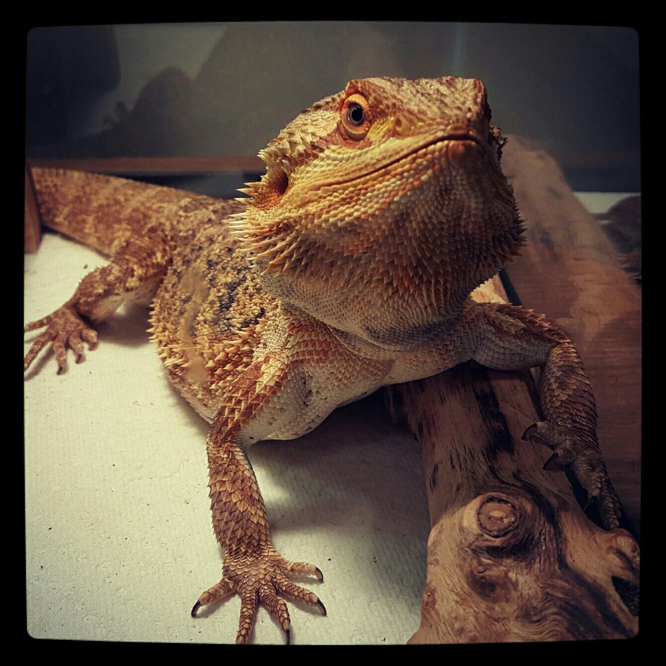 Pin by marie savoie on lizards pinterest bearded dragon and reptiles