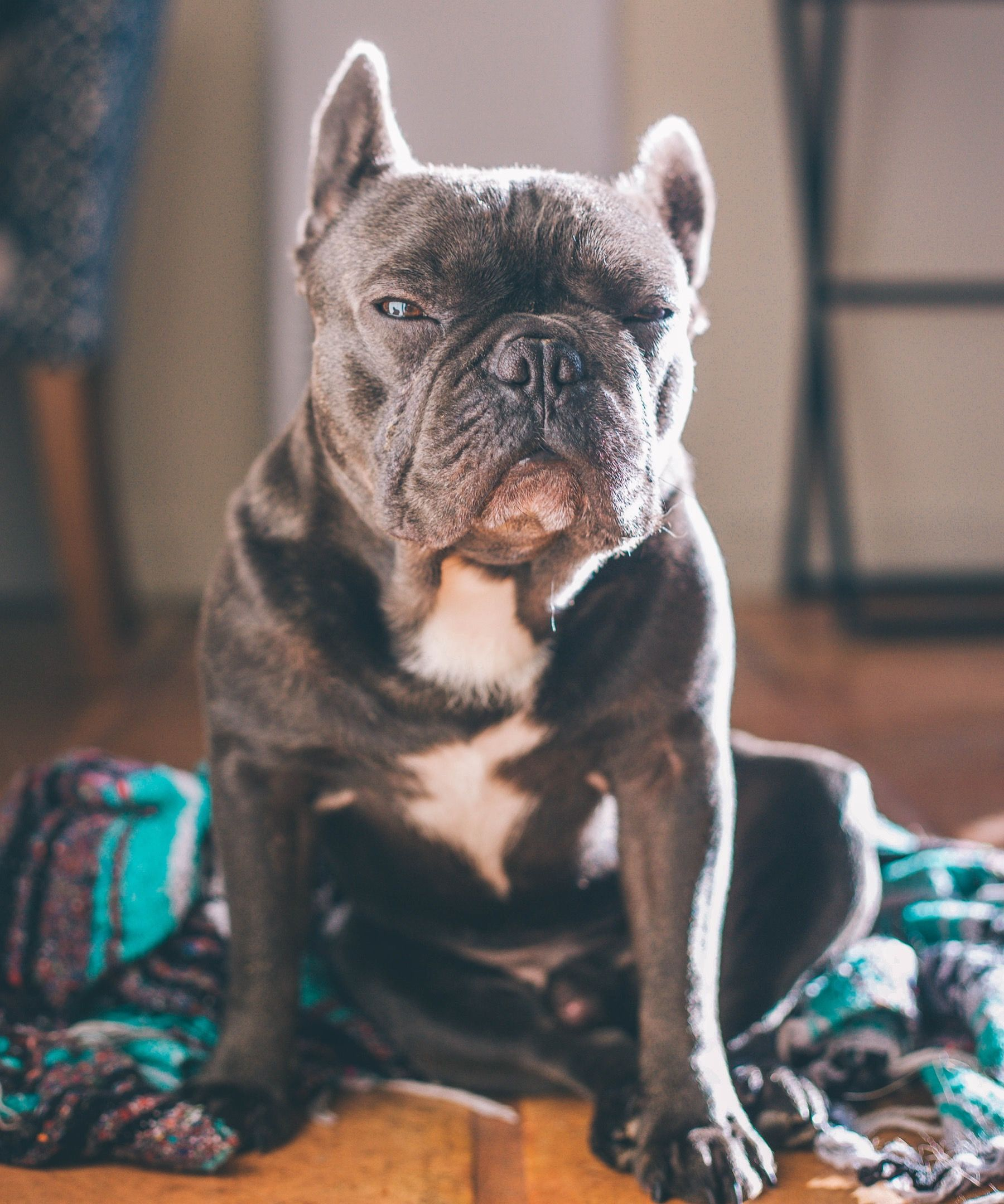 An Old French Bulldog Needs Special Attention Training Your Dog