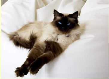 Seal Point Siamese Cat Photos Color Points Brown Points