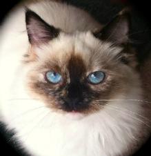 Ragdoll Kittens Long Island Ny Nj Ct Pa Ma Ri Ragdoll Kitten