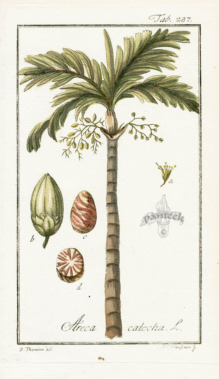 Areca Catechu Antique Botanical Print Botanical Prints Botanical Drawings