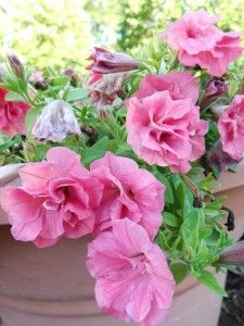 Best Of The Rest Petunias