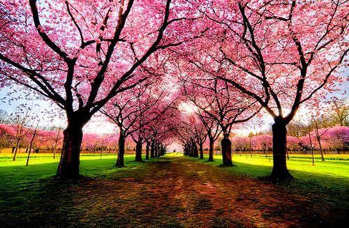 Pink Tree Pathway Tree Photography Beautiful Tree Blossom Trees