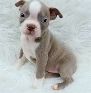 Lilac Boston Terrier And White