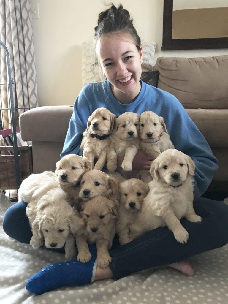 Goldendoodle puppies doodles 2 love in 2020