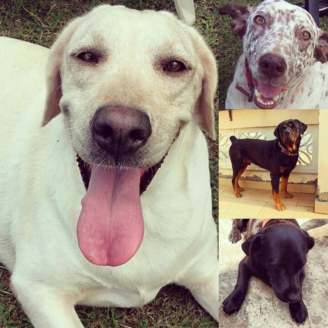 Four pedigree dogs available for adoption Delhi All 2 3 year old