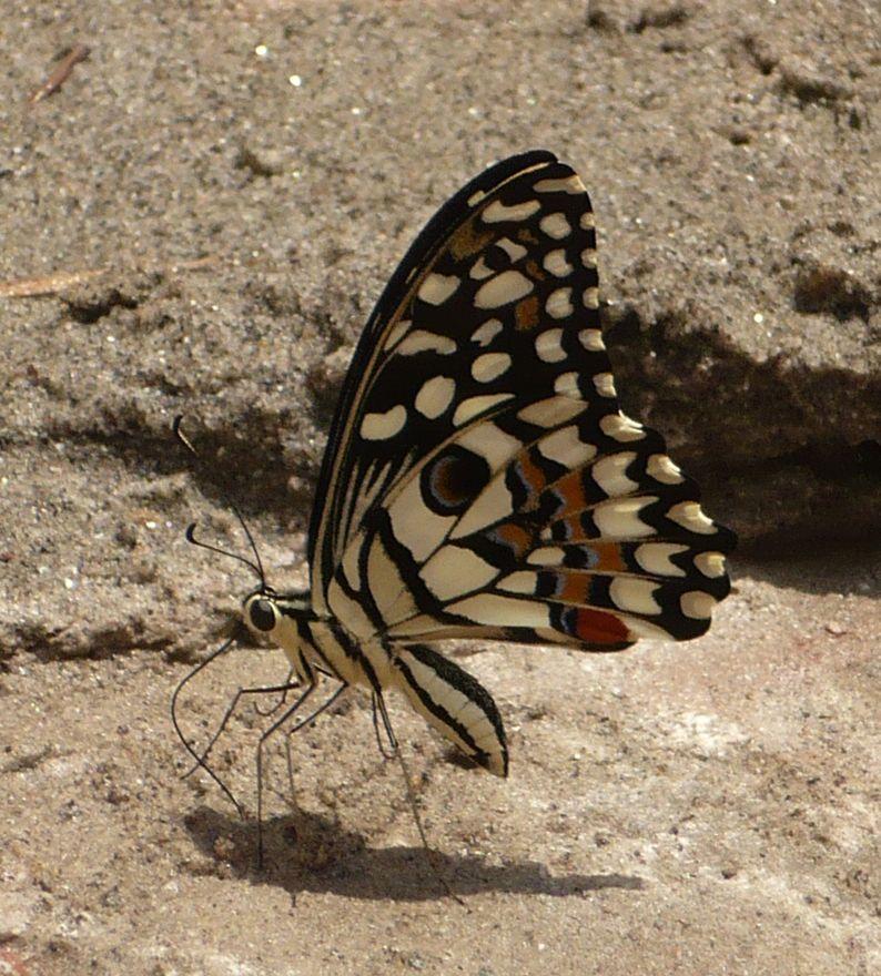 (Papilio demoleus) 蝶, 幼虫