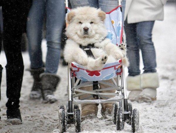Dog In A Pram Babyhunde Susseste Haustiere Niedliche Hunde