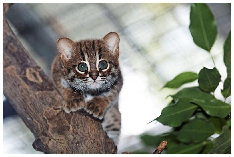 Rusted spotted cat born in Zoo Berlin. Such a beauty
