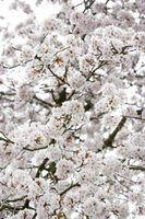 Crape myrtle varieties produce various blossom colors.