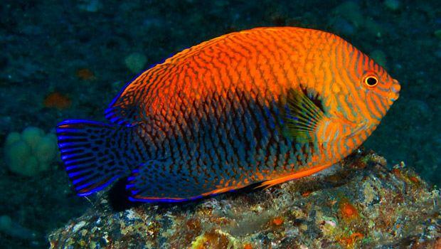 Potter S Angelfish Via Waikiki Aquarium Beautiful Fish Angel Fish Fish