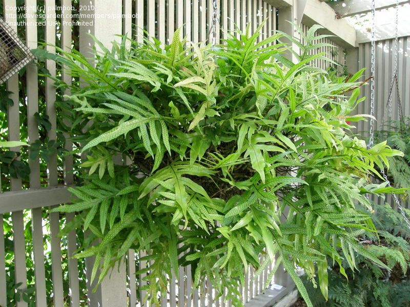 interesting fern house plants. HOUSEPLANT  Kangaroo Paw Fern Fool proof It thrives under varying light conditions
