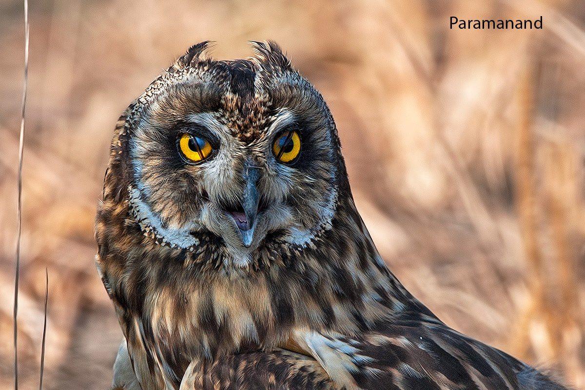 Paramanand Chikane Short-Eared Owl