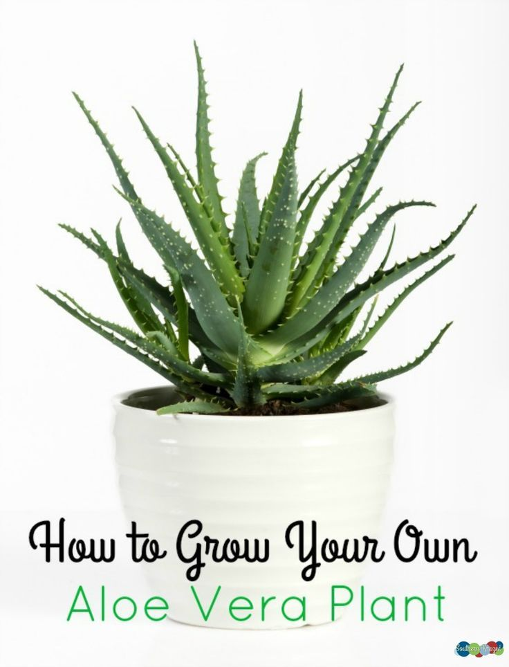 Aloe Vera Plant Care The Ultimate Guide For How To Grow: How To Grow Your Own Aloe Vera Plant
