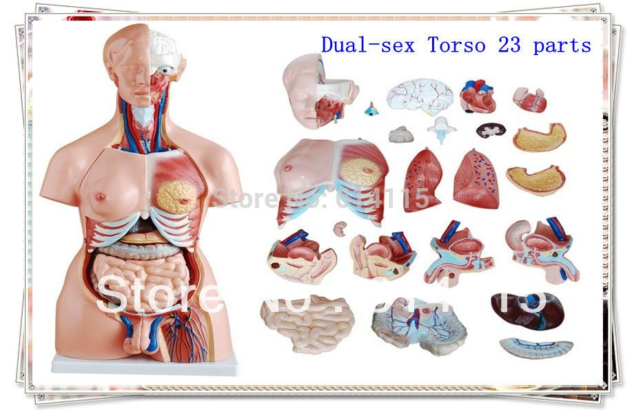 Factory Direct Sale Dual Sex Torso 23 Parts Anatomy Model Packing