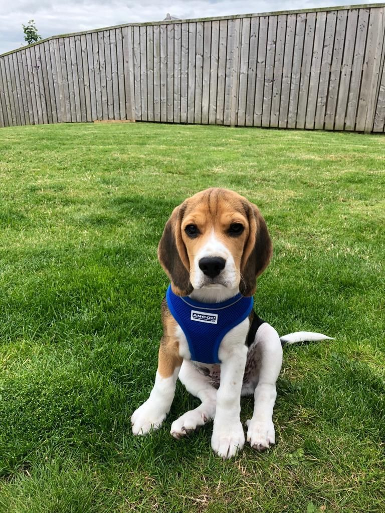 Patrick S Enthusiasm For Morning Walkies The Most Adorable Beagle Pup Ever 3 In 2020 Mixed Breed Dogs Beagle Puppy Beagle Breeds