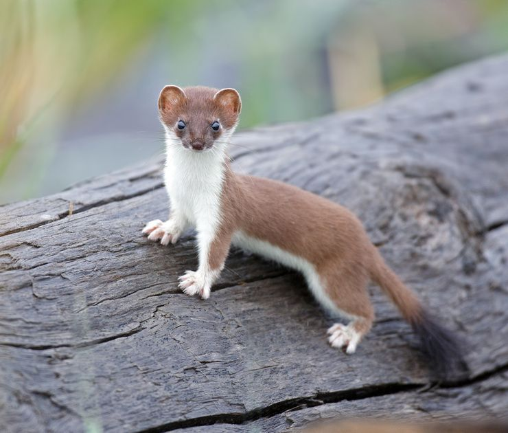 Image result for least weasel