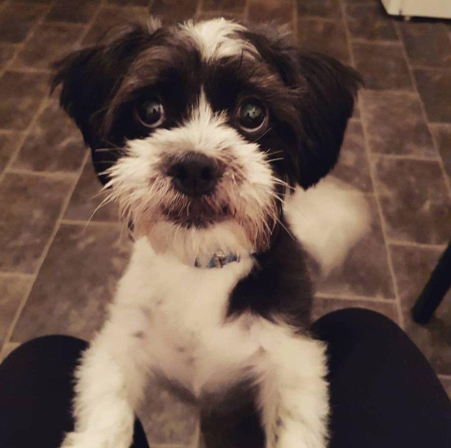 Jack Tzu Shih Tzu X Jack Russell Terrier Jack Russell Shih Tzu Jack Russell Terrier