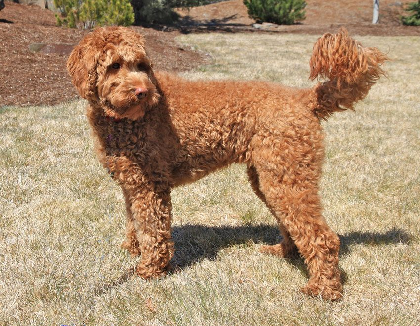 Red, Curly fleece, Multi-gen Labradoodles! | Puppies