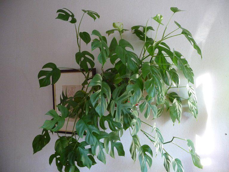 Rhaphidophora tetrasperma, Aracées, plante d'intérieur, 8 août 2012, photo Alain Delavie