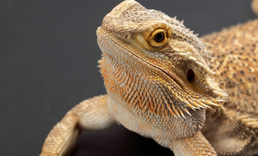 Pet bearded dragons linked to salmonella outbreak in US