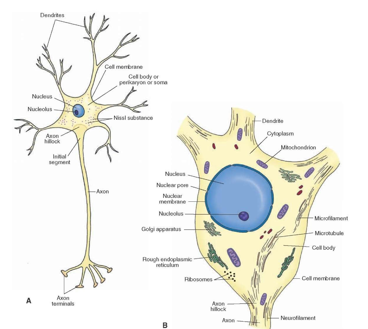 Histology Of The Nervous System The Neuron Part 1 Neurons Cell Diagram Brain Nervous System