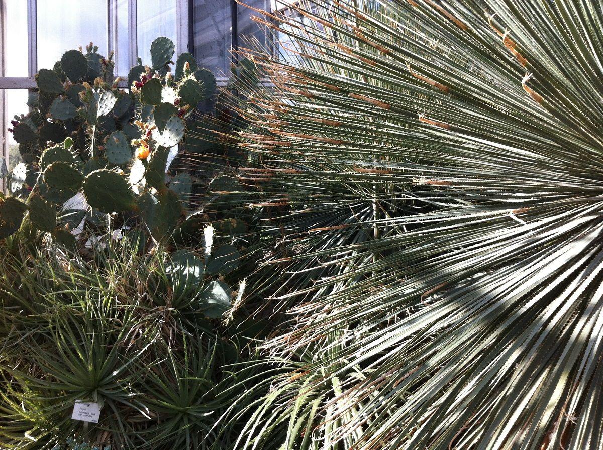 Kakteen im Botanischen Garten der Christian-Albrechts-Universität zu Kiel