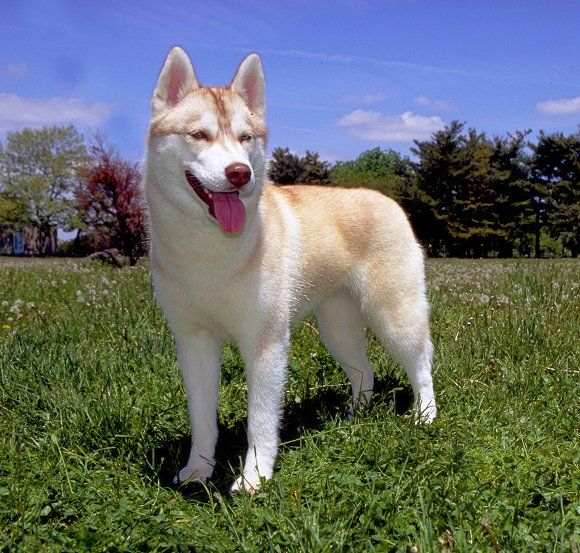 Akc Facts And Stats American Kennel Club Working Dogs Breeds Smartest Dog Breeds Best Dogs For Families