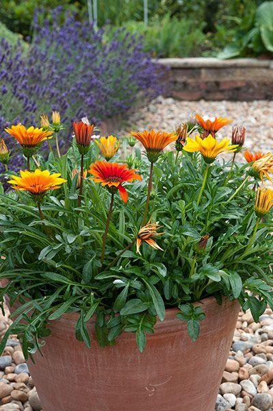 Gazania Sunburst Mixed 40 Plus 20 Free Plug Plants Plants Gazania Flowers Container Gardening