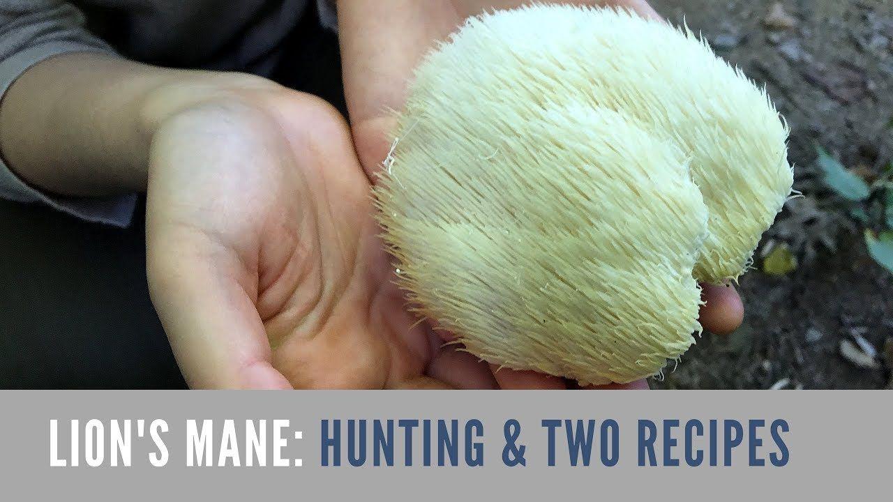 Lion's Mane Mushroom Hunting and Cooking Stuffed