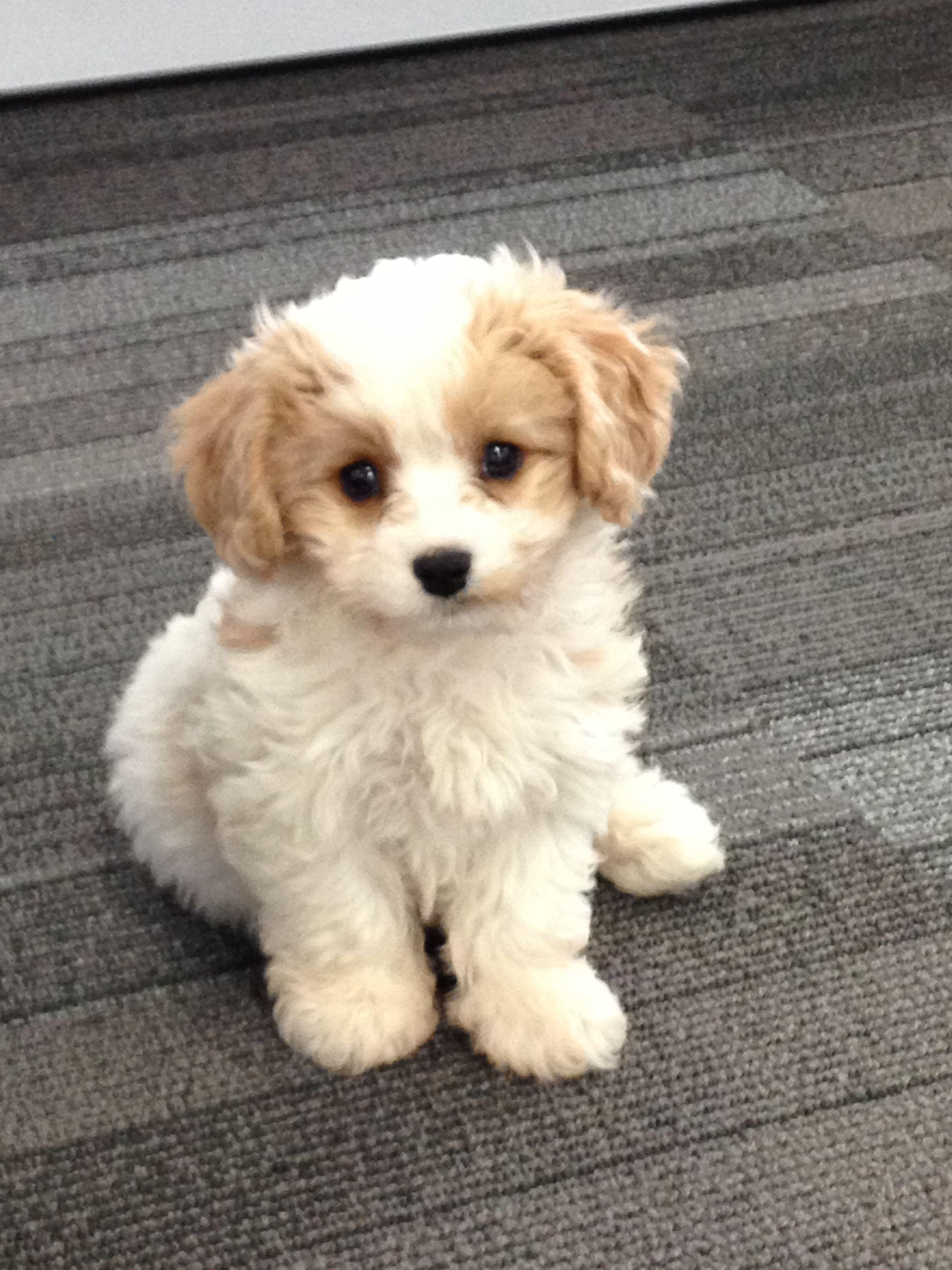 Cavashon Puppie 10 Weeks King Charles Cavalier Plus A Bichon