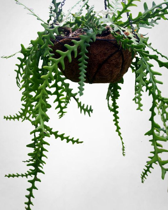 interesting fern house plants. Fern leaf Cactus Hard to find cati with amazing by nevastarr  Indoor PlantsIndoor draping fern like