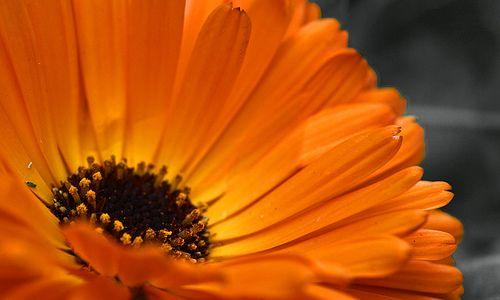 Conoscete il fiore di Calendula? Ecco la sua storia   Eticamente.net