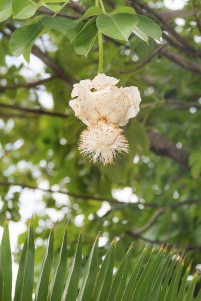 Blooming African Baobab Trees Information About Baobab Tree Flowers