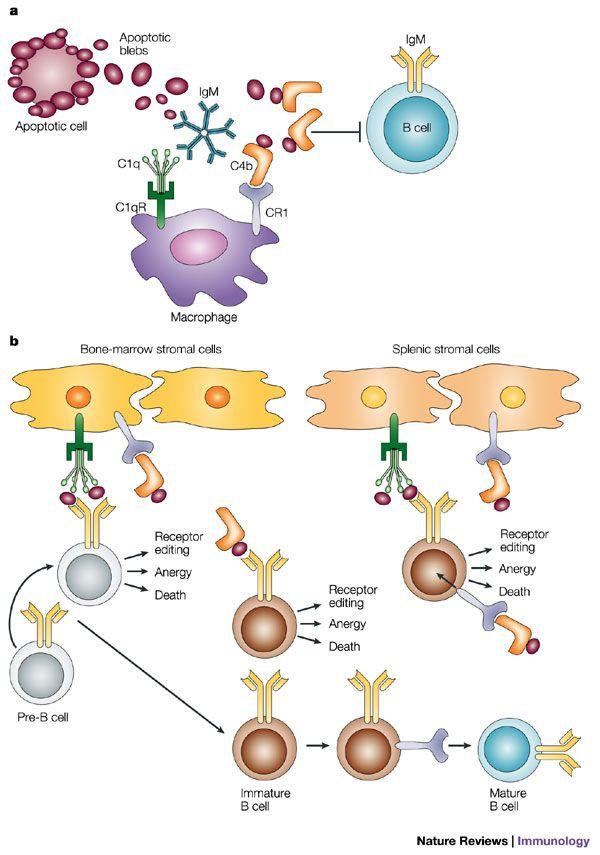 الذئبة الحمامية الجهازية Systemic Lupus Erythematosus With Images