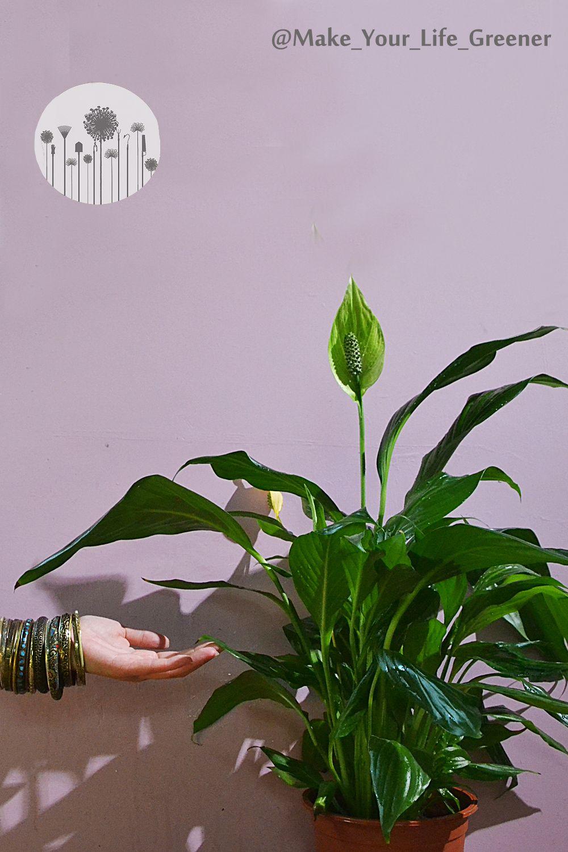 Dlaczego Liscie Skrzydlokwiatu Zolkna Zasychaja Lub Brazowieja Plant Leaves Plants Green