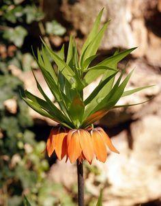 Kaiserkrone Pflanzen Und Pflegen Pflanzen Pflanzen Gegen Wuhlmause Stauden