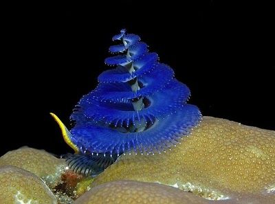 Animal Or Plant Christmas Tree Worm Extended And Feeding Beautiful Sea Creatures Cool Sea Creatures Sea Creatures